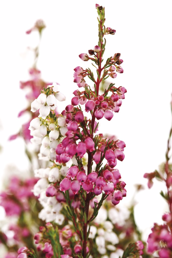 Cross-leaved heath (Erica tetralix) : Stock Photo