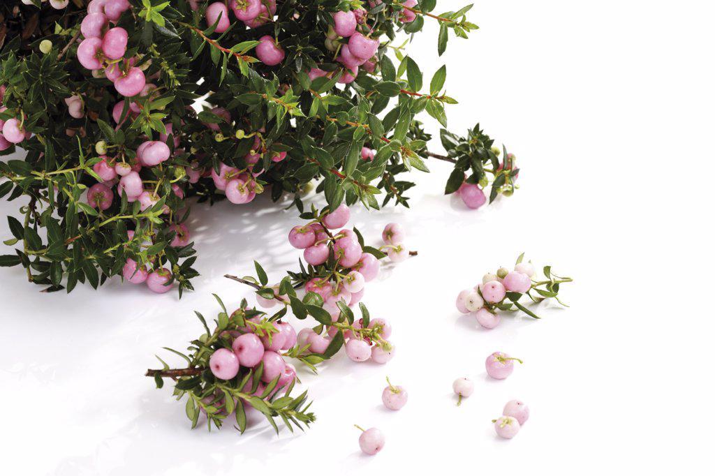 Pernettya (Pernettya mucronata) : Stock Photo