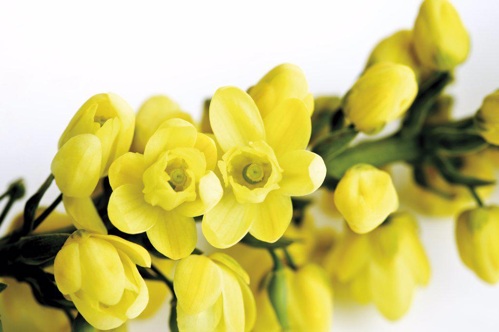 Mahonia aquifolium flowers (Mahonia aquifolium) : Stock Photo