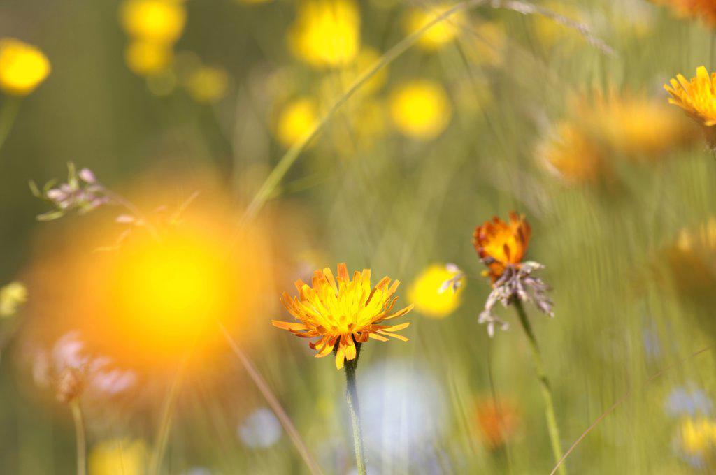 Stock Photo: 1815R-18265 Austria, alps, meadow full of flowers