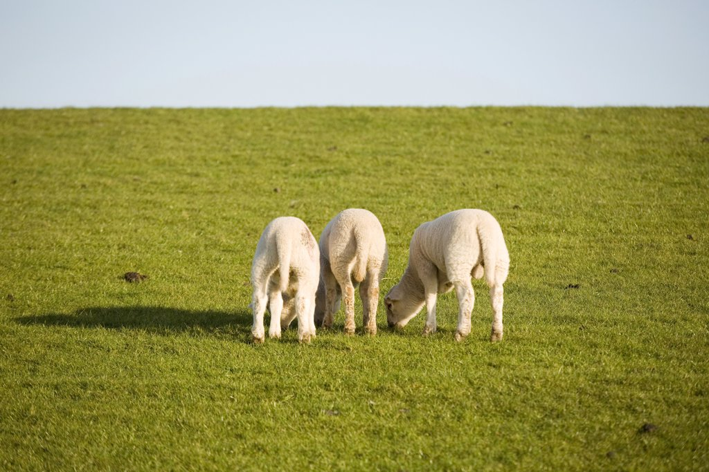 Lambs on pasture, close-up : Stock Photo