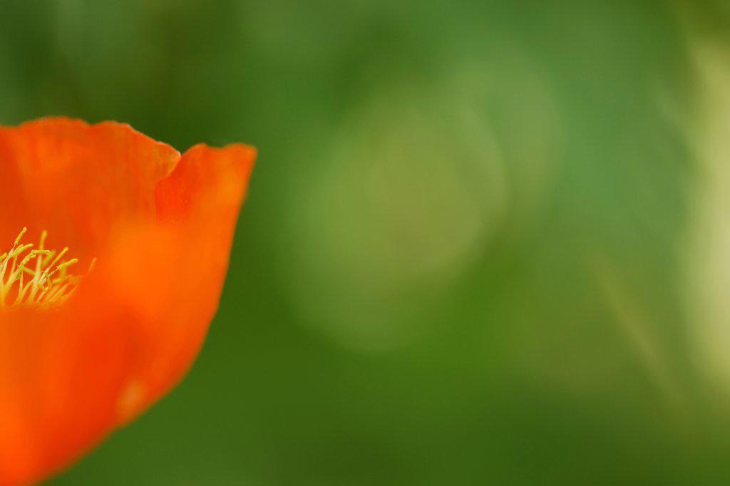 Poppy seed, close-up : Stock Photo