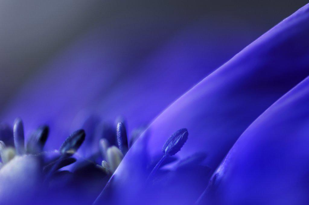 Stock Photo: 1815R-32548 Anemone, close-up