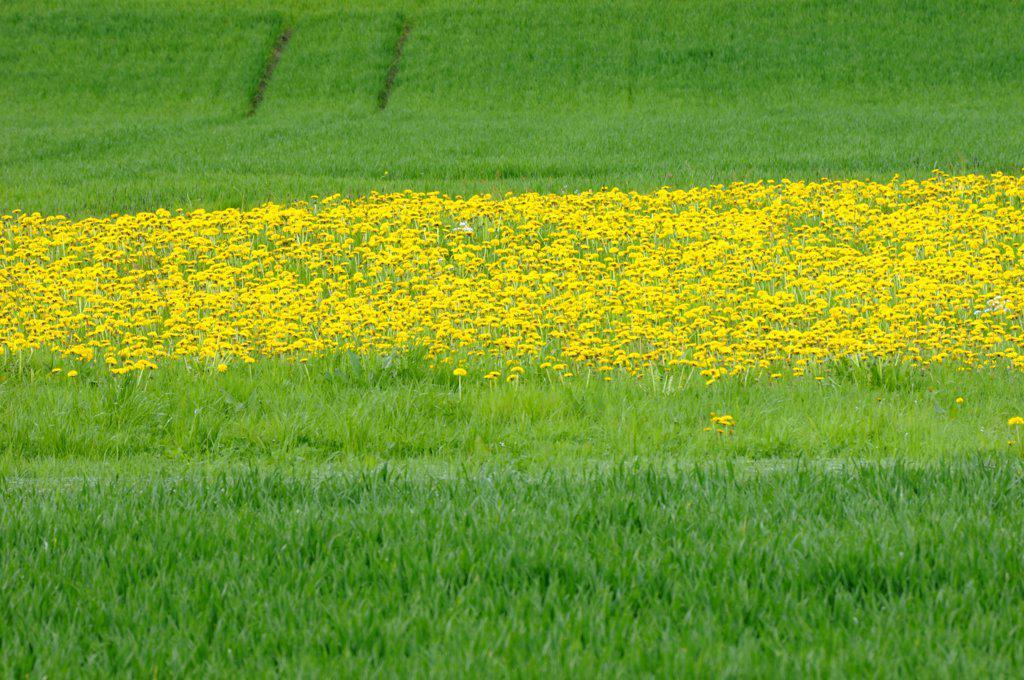 Dandelions (Taraxacum) in meadow : Stock Photo