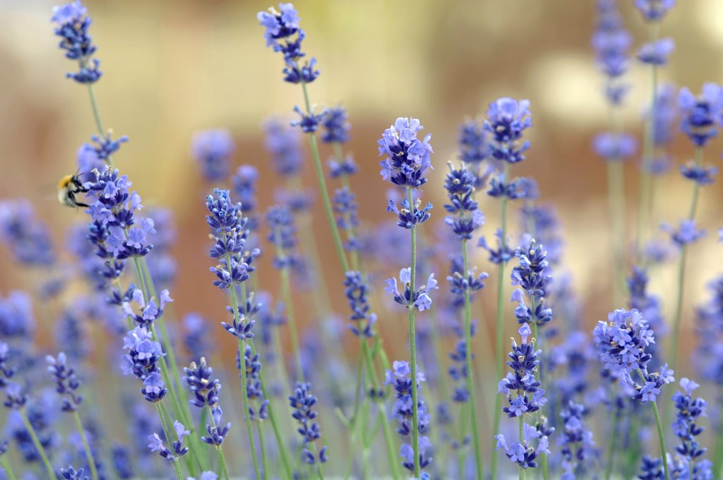 Lavender, close-up : Stock Photo