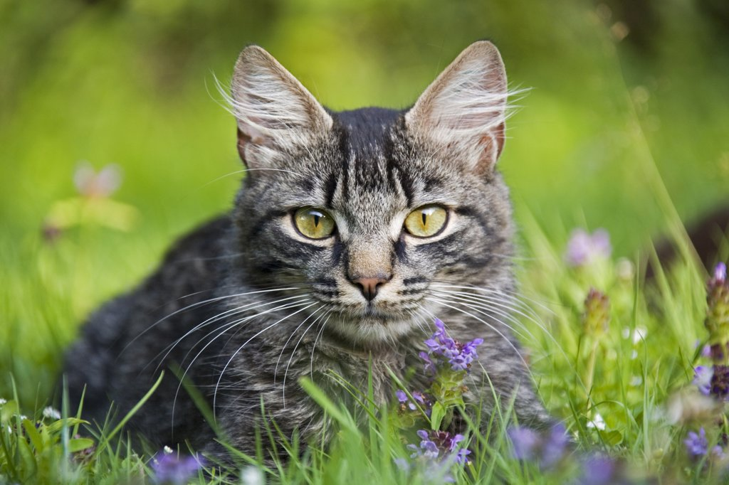 Stock Photo: 1815R-34361 Cat in meadow
