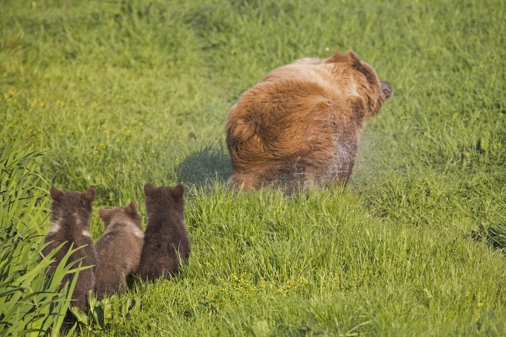 European Brown Bear With Cubs, (Ursus arctos) : Stock Photo