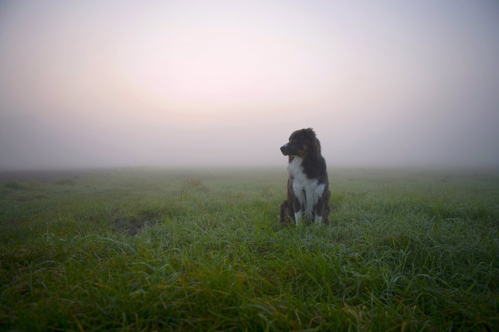 Stock Photo: 1815R-37352 Australian Shepherd dog sitting on meadow