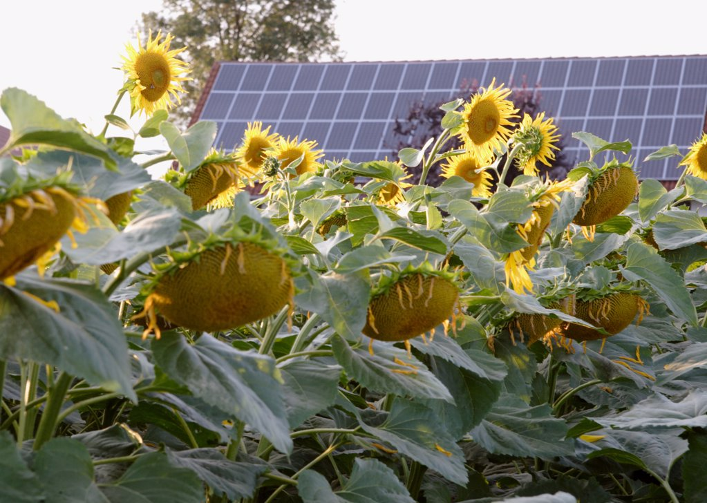 Solar panel in front of sunflowers : Stock Photo