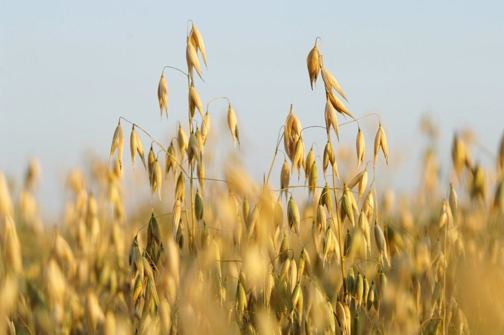 Oat field : Stock Photo