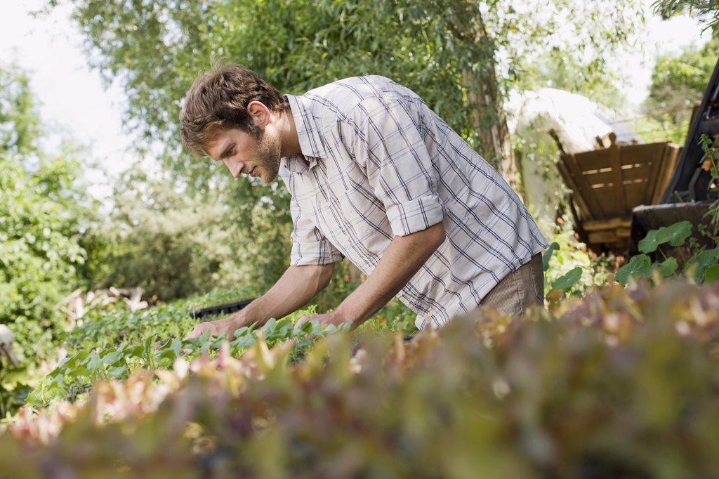 Farmer cultivating seedlings : Stock Photo