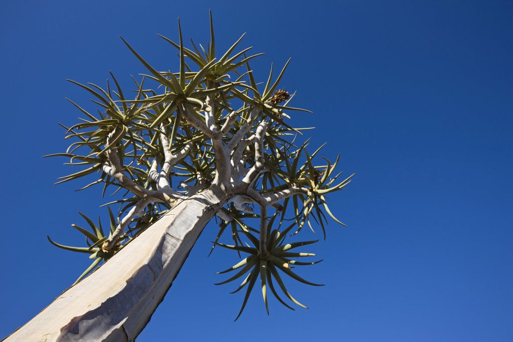 Africa, Namibia, Quiver Tree (Aloe dichotoma), low angle view : Stock Photo