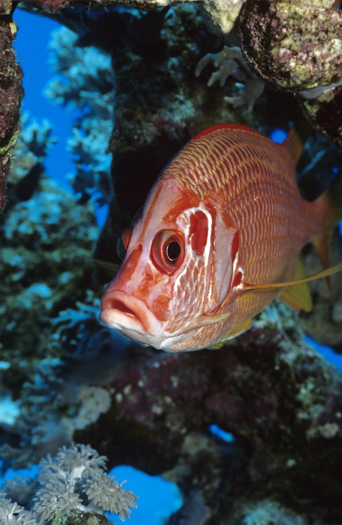 Giant squirrelfish, Sargocentron spiniferum : Stock Photo