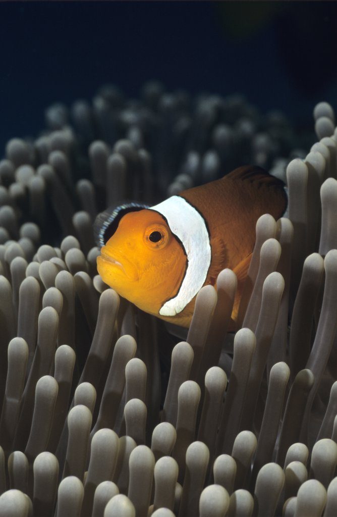 Western Clownfish, Amphiprion ocellaris : Stock Photo