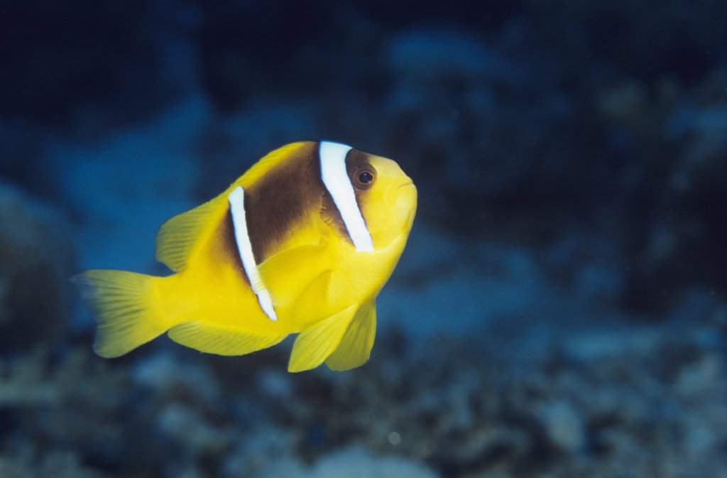 Red Sea anemonefish, Amphiprion bicintus : Stock Photo