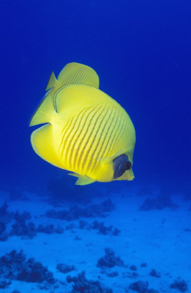 Stock Photo: 1815R-4788 Masked butterflyfish, Chaetodon semilarvatus