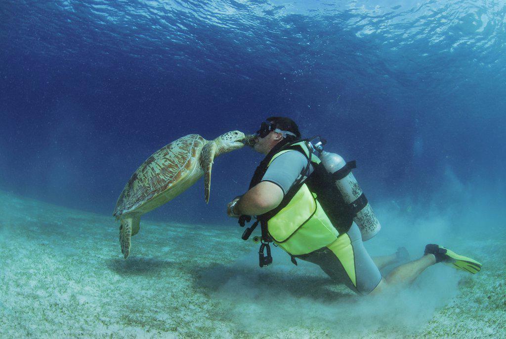 Philippines, scuba diver kissing green sea turtle, underwater view : Stock Photo