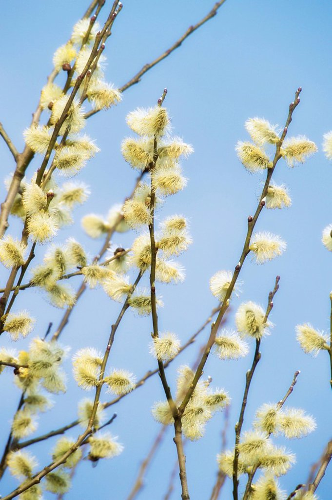 Willow catkins : Stock Photo