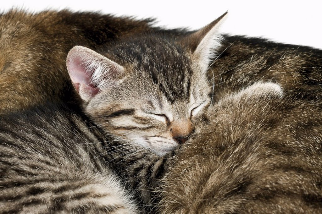 Domestic cats, cat and kitten sleeping, portrait, close_up : Stock Photo