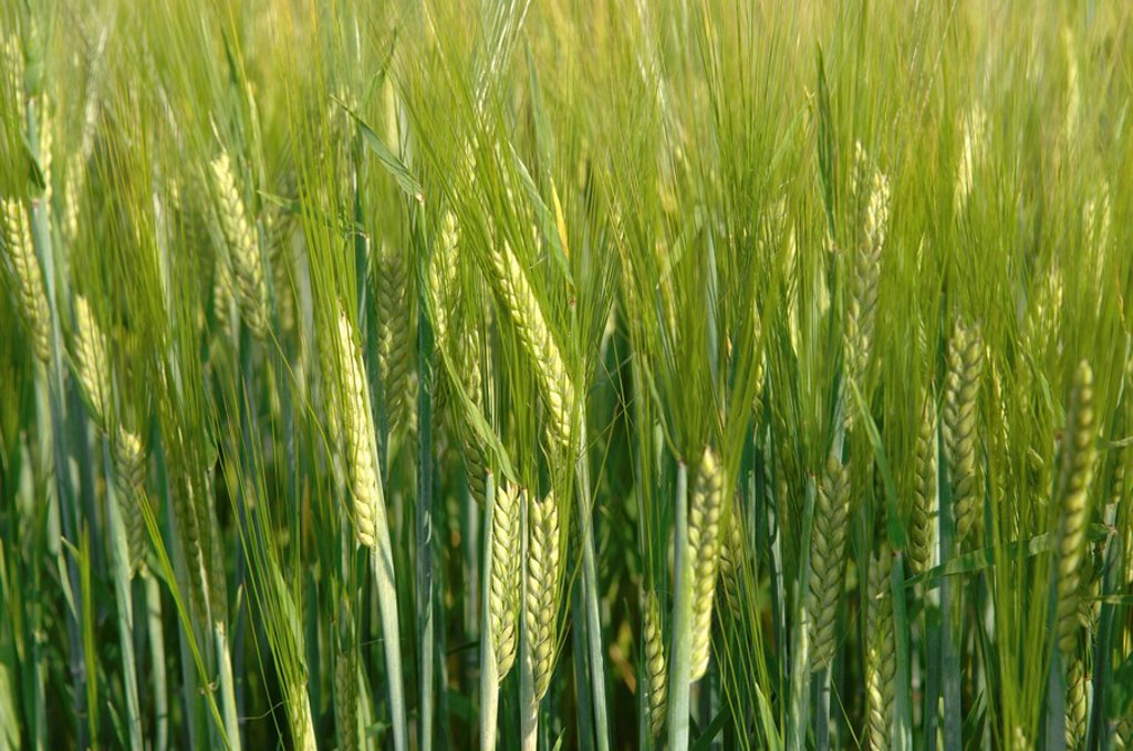 Barley spikes Hordeum close up : Stock Photo