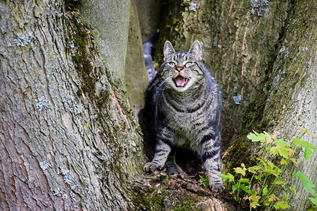 Stock Photo: 1815R-54882 Cat on tree trunk baring its teeth