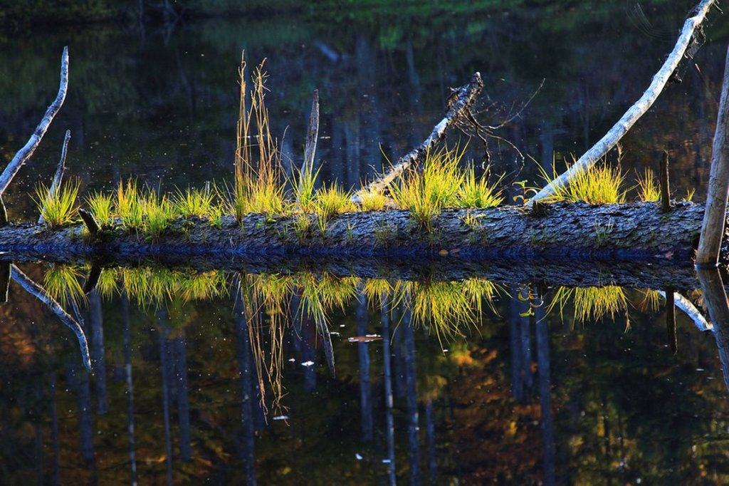 Stock Photo: 1815R-54909 Germany, Bavarian Forest, Tree trunk lying in lake