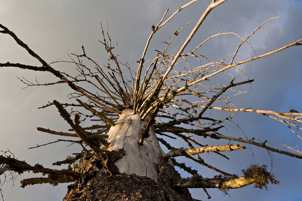Stock Photo: 1815R-54924 Germany, Bavarian Forest, Bare tree, low angle view, close_up