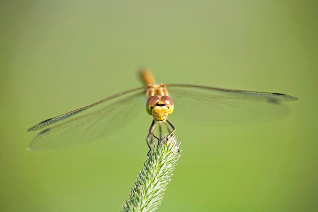 Dragonfly Sympetrum on grass : Stock Photo