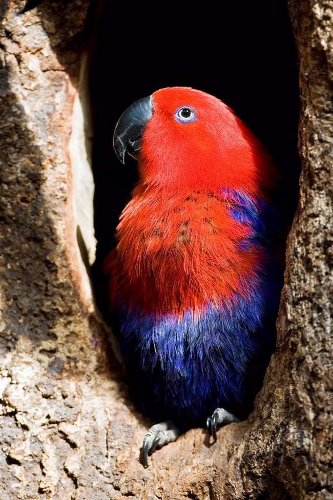 Female Eclectus parrot Eclectus roratus, close_up : Stock Photo