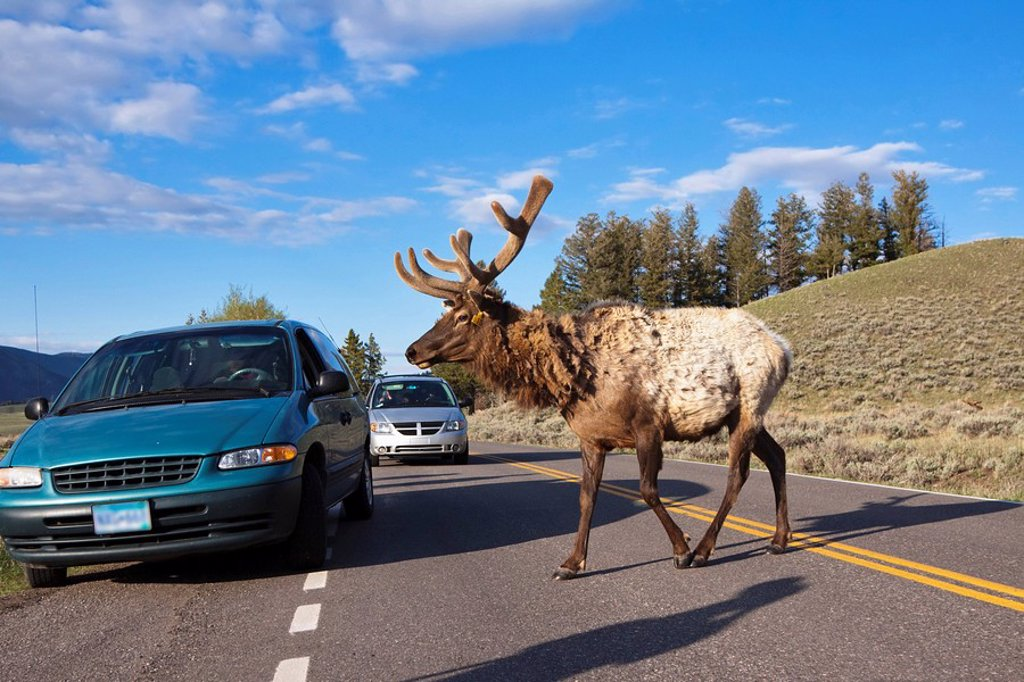 USA, Yellowstone Park, Elk Cervus canadensis crossing road : Stock Photo