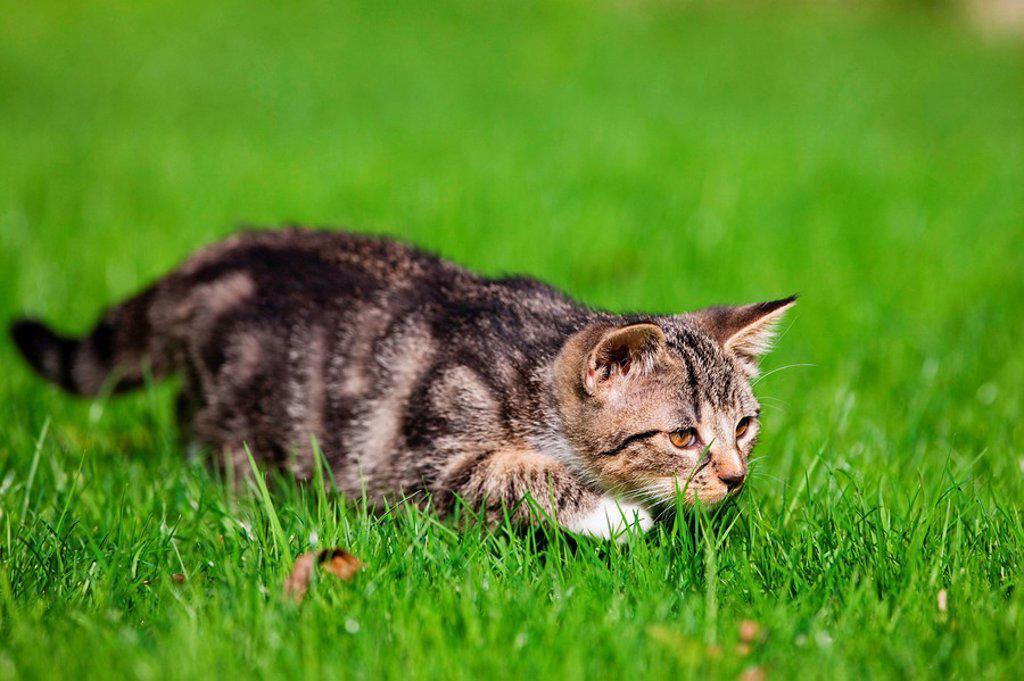 Germany, Bavaria, Kitten in grass : Stock Photo