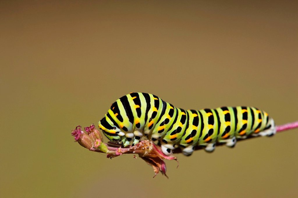 Germany, Bavaria, Caterpillar of the swallowtail butterfly Papilio machaon on plant stem, close_up : Stock Photo