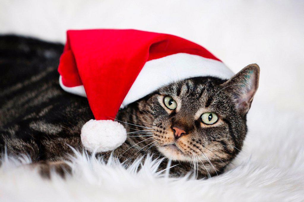 Male cat wearing Christmas cap, portrait : Stock Photo