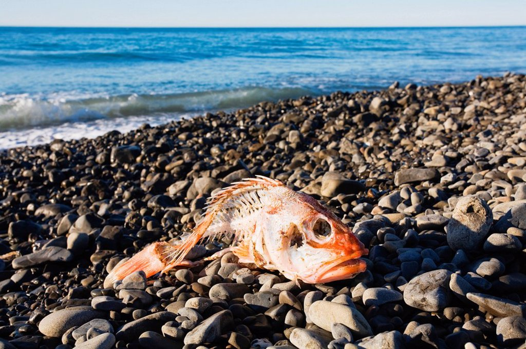 Stock Photo: 1815R-56045 New Zealand, Dead fish on the beach