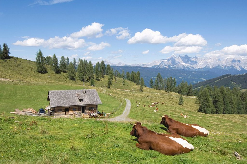 Stock Photo: 1815R-56211 Austria, Salzburger Land, Cattle resting on mountain pasture