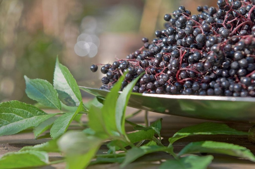 Stock Photo: 1815R-56272 Austria, Salzburger Land, Elder leaves and elderberries, close up