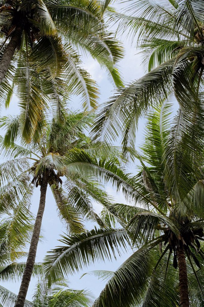 Stock Photo: 1815R-56807 Asia, Indonesia, Bali, Palm trees, low angle view