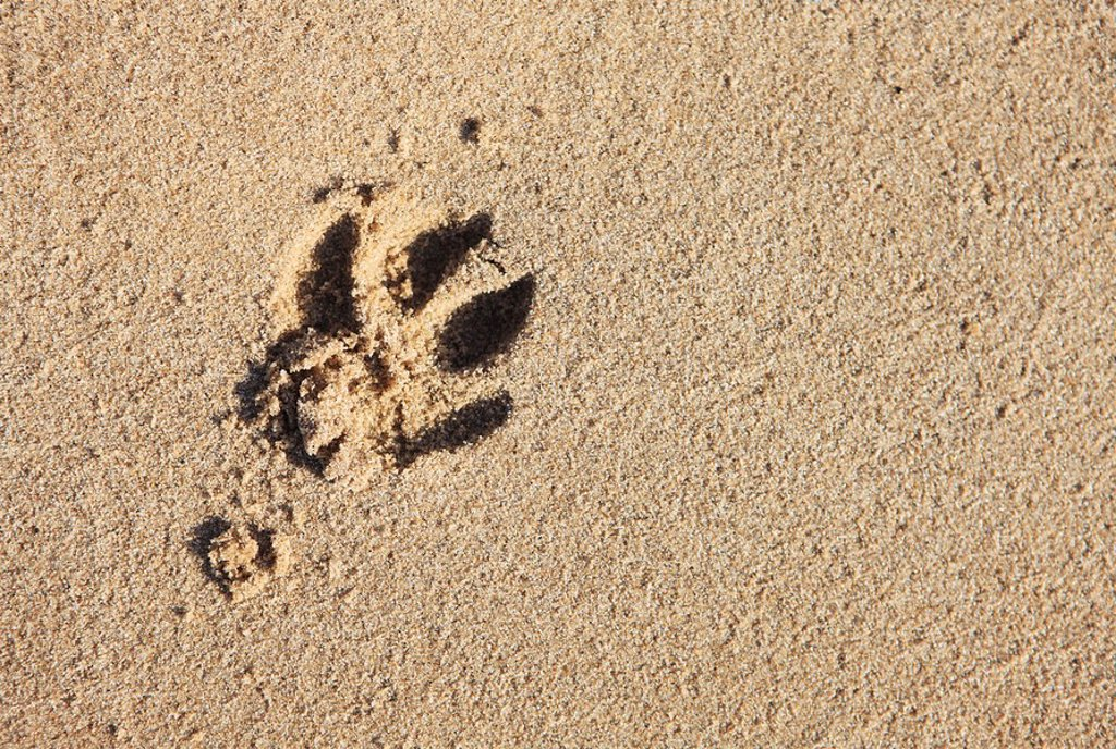 Dog footprint in sand, elevated view : Stock Photo