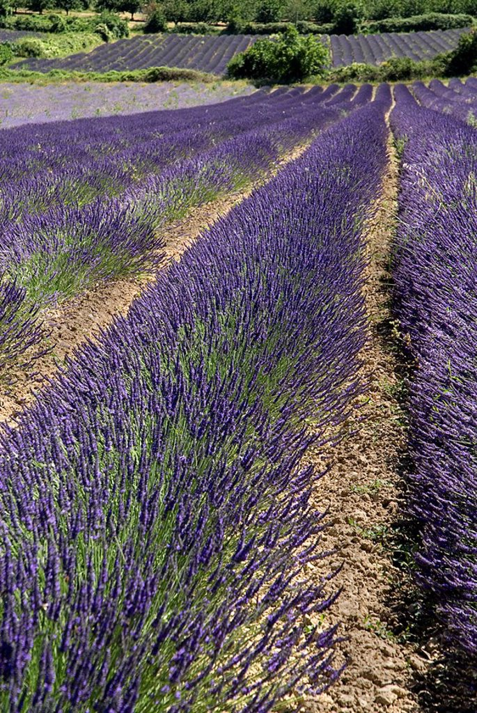 France, Provence, Auribeau, Lavender fields : Stock Photo
