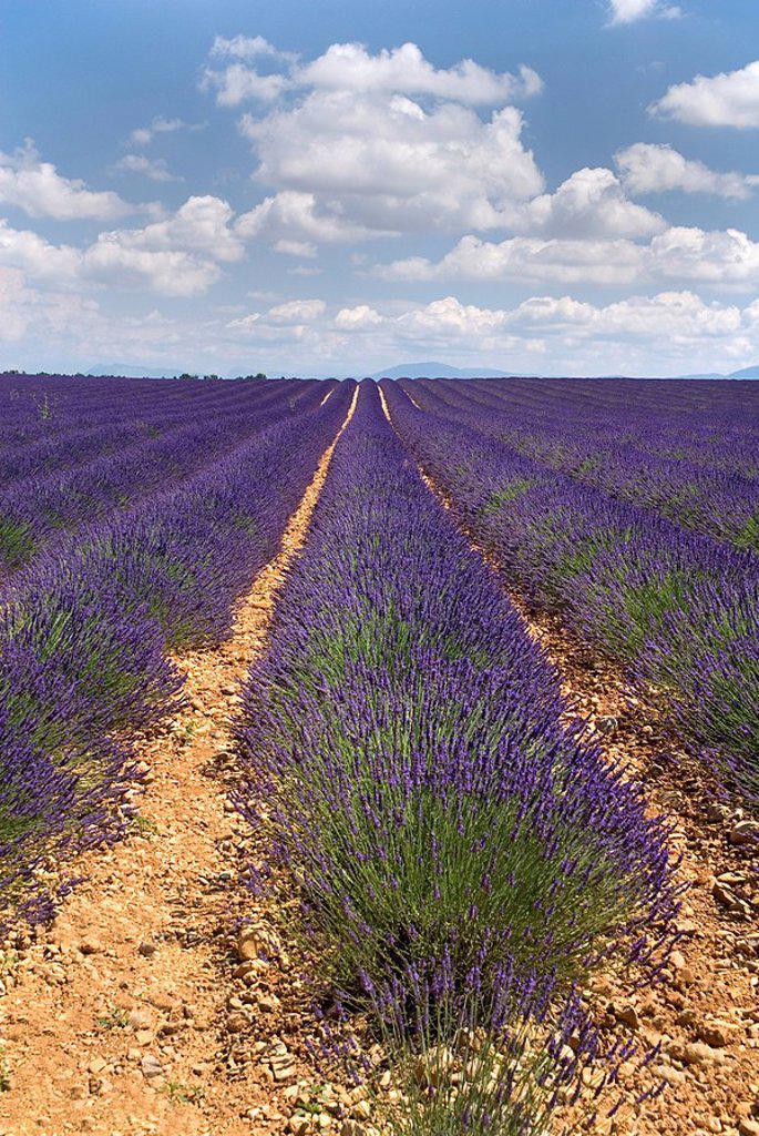 France, Provence, Valensole, Lavender fields : Stock Photo