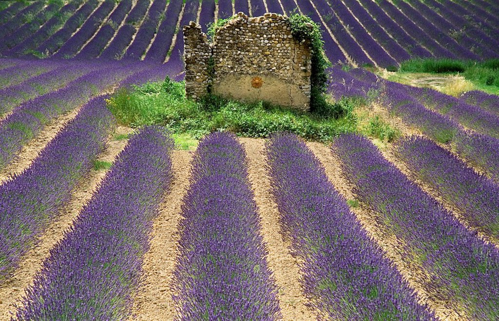France, Provence, Valensole, Lavender field and stone house : Stock Photo