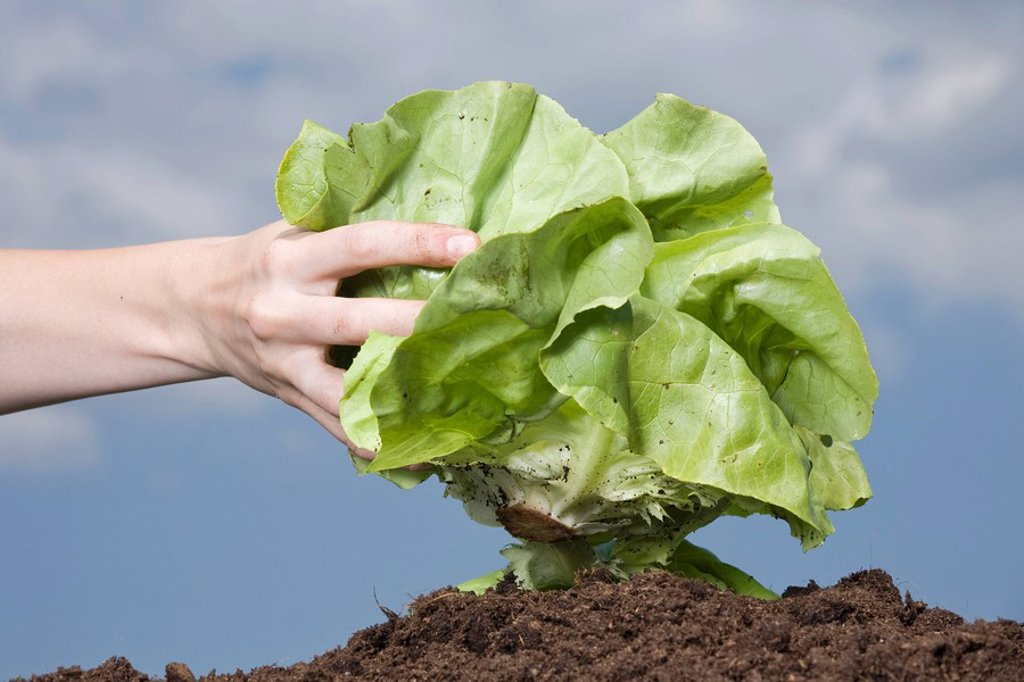 Hand holding lettuce, close_up : Stock Photo
