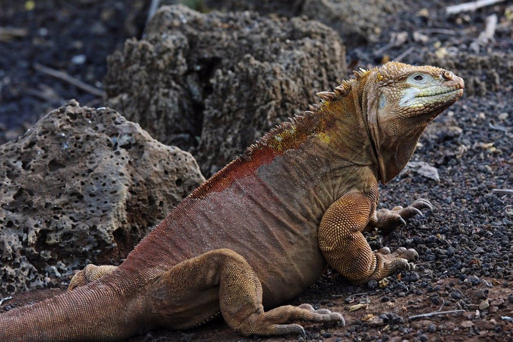 Galapagos Islands, Santa Cruz Island, Land iguana Conolophus subcristatus, close_up : Stock Photo