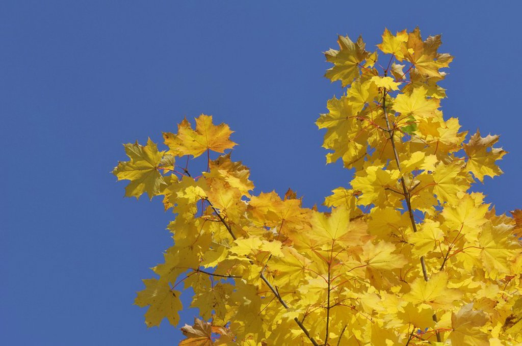 Stock Photo: 1815R-60656 Norway maple Acer platanoides, leaves against blue sky, close_up