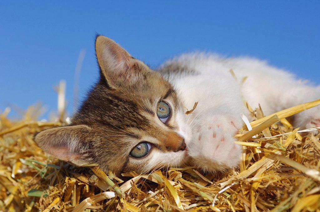 Germany, Bavaria, Kitten lying in straw : Stock Photo