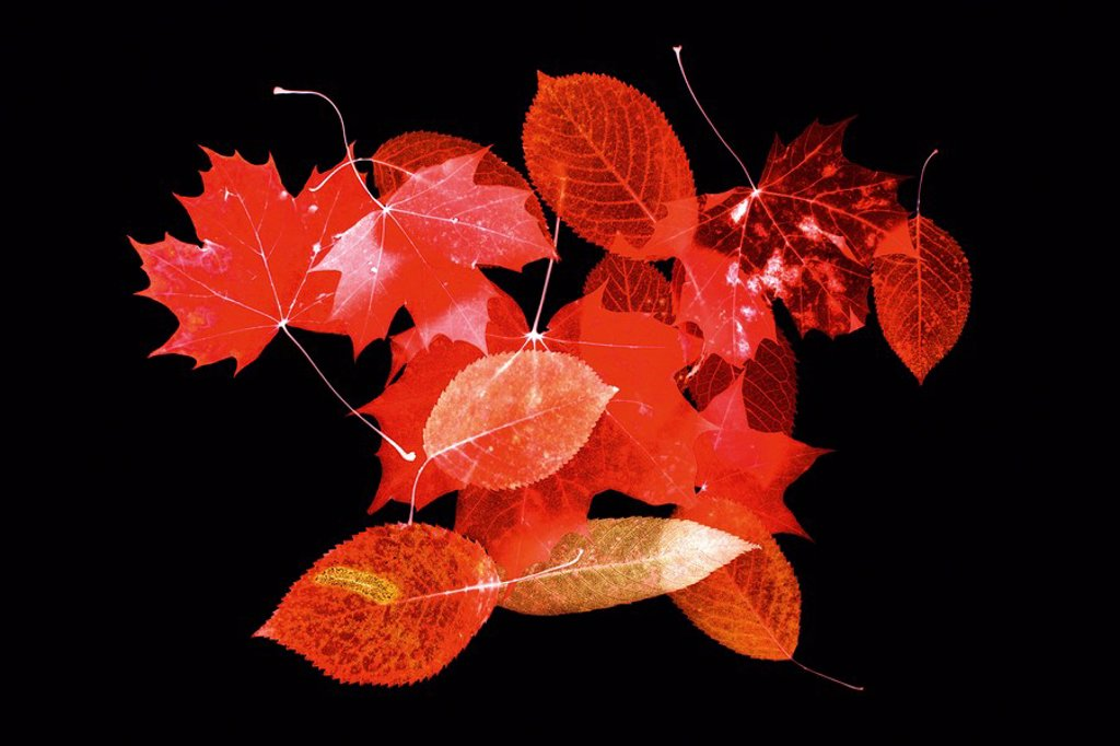 Stock Photo: 1815R-61517 Flowering cherry, Norway maple, autumn leaves, close up