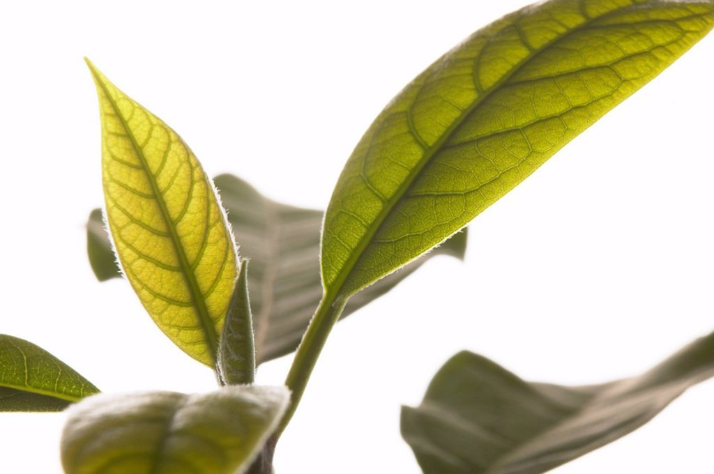 Stock Photo: 1815R-61850 Avocado plant Persea americana, close_up of leaves