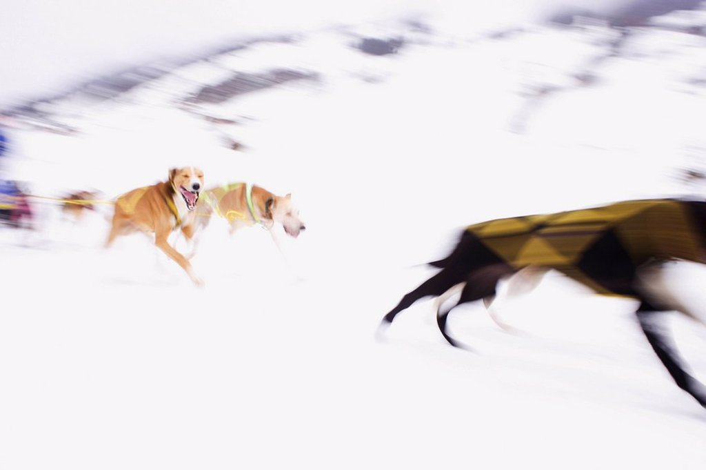 Austria, Salzburger Land, Dogsled team in motion : Stock Photo