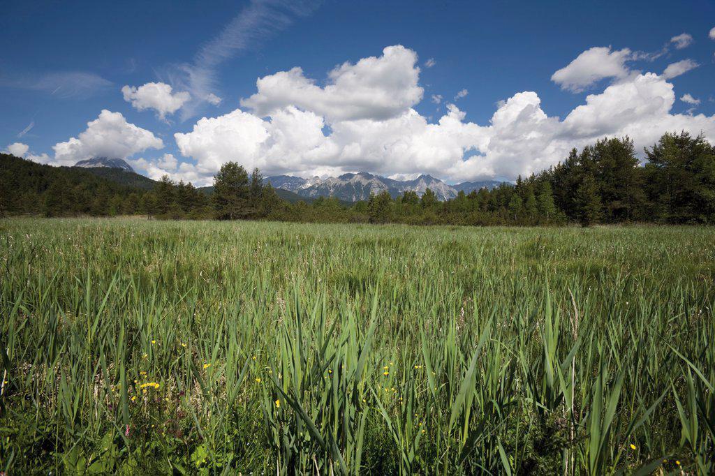 Austria, Tyrol, Reed at lake : Stock Photo