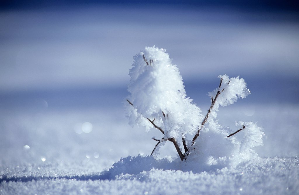Twig with snow, close-up : Stock Photo